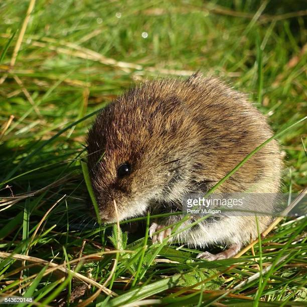 Field vole feeding on grass