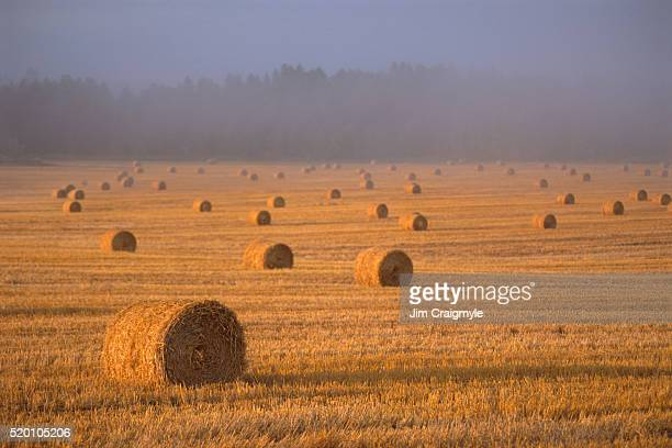 field with bales of wheat - jim craigmyle stock pictures, royalty-free photos & images