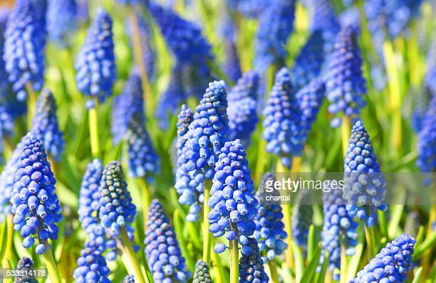 field with blue muscari flowers - grape hyacinth stock pictures, royalty-free photos & images