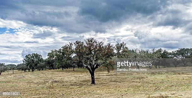 field with cork trees, alentejo, portugal - cork tree stock photos and pictures