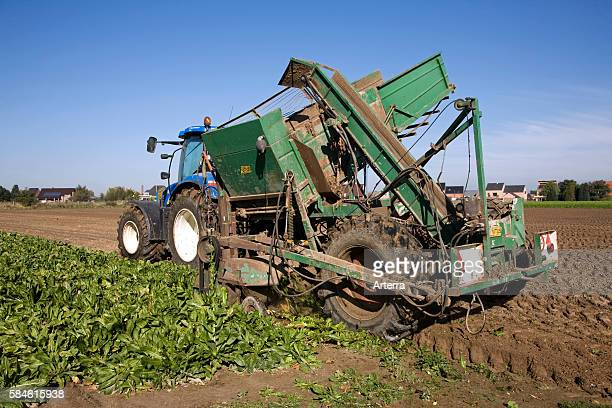 Field with cultivated chicory plants being raised by tractor with harvester