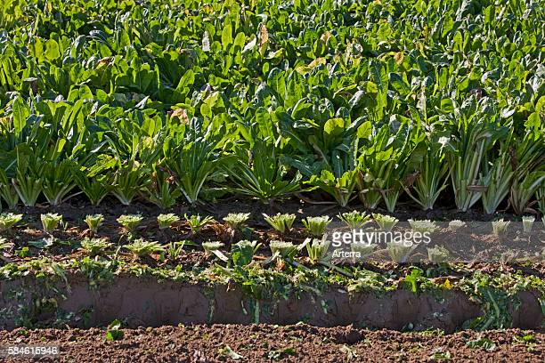 Field with cultivated chicory plants