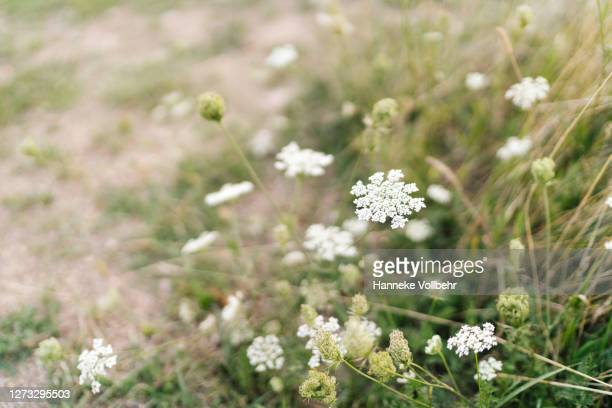 field with grass and baby's breath flowers just before sunset - kamperen stock pictures, royalty-free photos & images