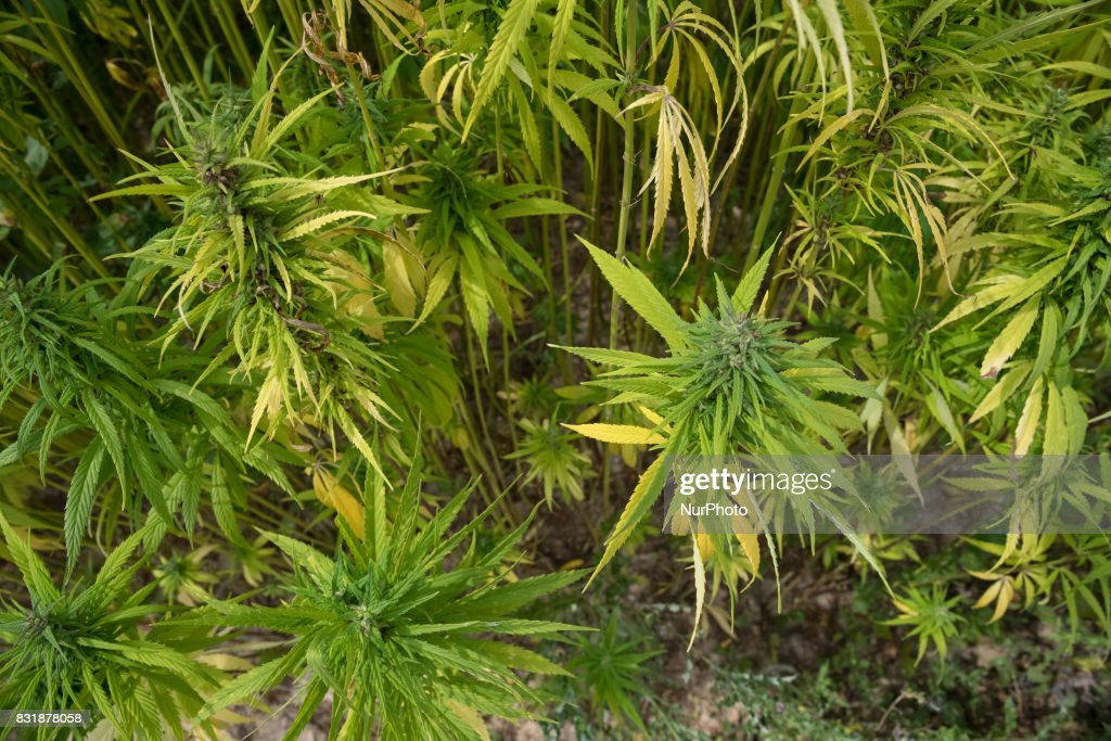 A field with industrial hemp growing in France on 15 August 2017. The cultivation of Hemp as been for the last decade the only culture with no OGM and no chemicals process, theat offer the most various spin-off products.