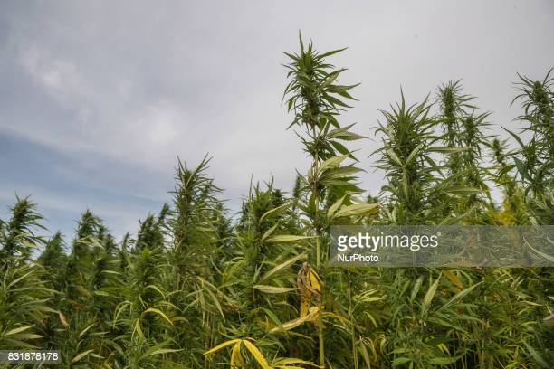 A field with industrial hemp growing in France on 15 August 2017 The cultivation of Hemp as been for the last decade the only culture with no OGM and...