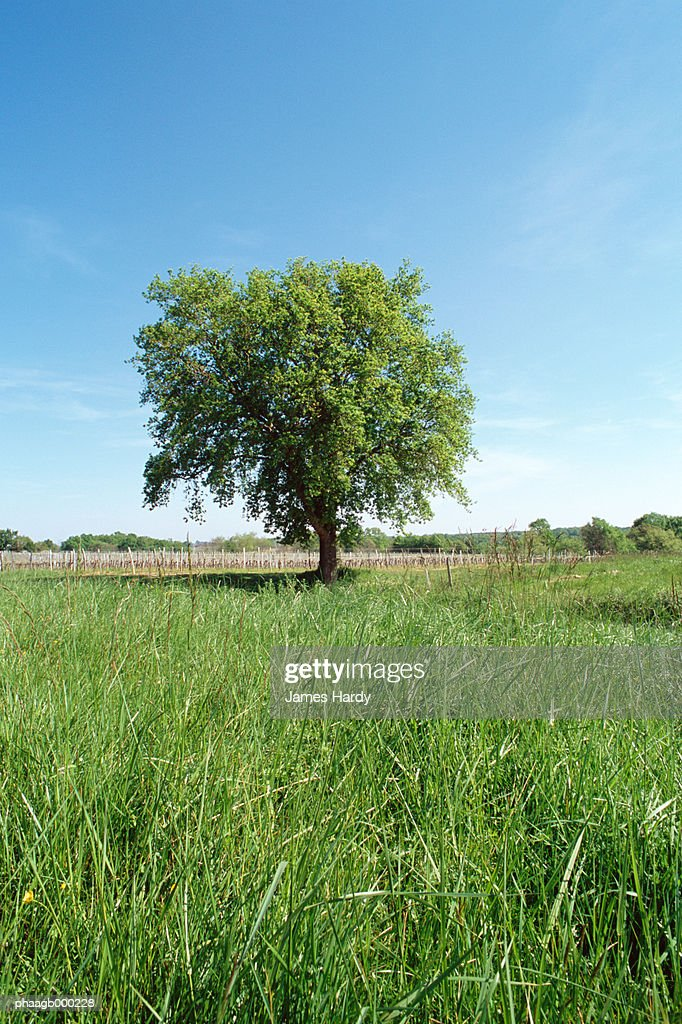 Field with lone tree : Stockfoto
