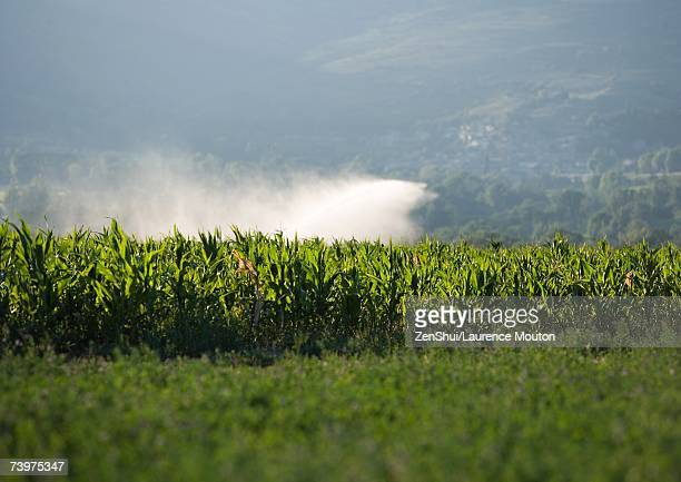 Field with mist from sprinkler