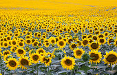 field with plenty of blossoming sunflowers