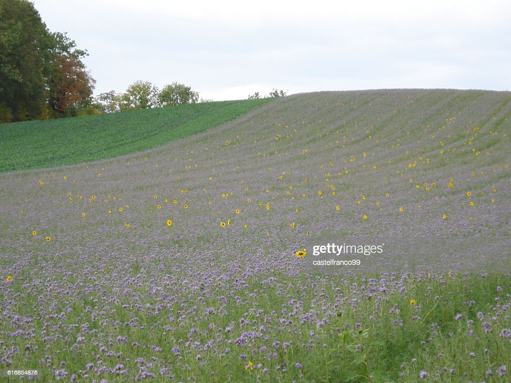 Field with purple flowers, spiked with individual sunflowers. : Stock Photo