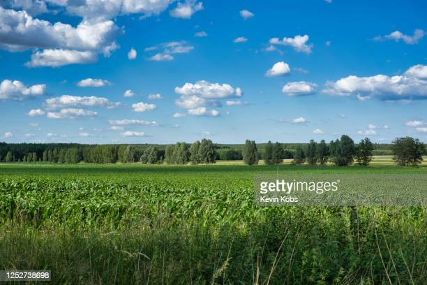 field with rye cultivation near the village of merz in brandenburg, germany. - land brandebourg photos et images de collection