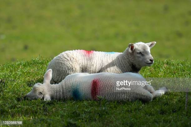 Field with small newborn lambs next to Dog's Bay Beach, during the COVID-19 lockdown. On Wednesday, 28 April 2021, in Gorteen Bay, Ervallagh,...