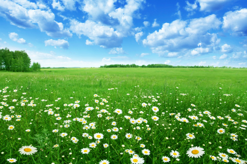 Field with white daisies under blue sky. 148069989