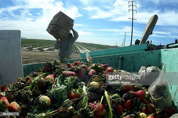 Field worker delivers another load of rain damaged strawberries to the dumpster Humberto Candelario's strawberry farm suffered serious damage during...