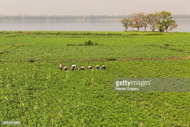field workers farming ground nuts - merten snijders stockfoto's en -beelden