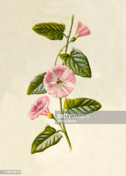 'FieldConvolvulus' 1877 FieldConvolvulus Bindweed or Morning Glory is a a climbing herbaceous perennial From Familiar Wild Flowers figured and...