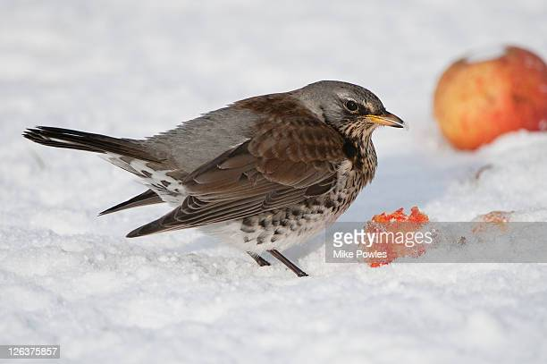 fieldfare (turdus pilaris) feeding on apple (malus domestica) in snow, norfolk, uk - lijster stockfoto's en -beelden