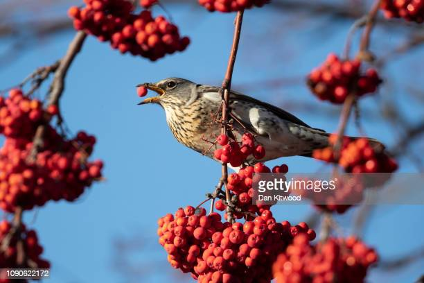 Fieldfare feeds on berries in Balham on January 28, 2019 in London, England. Migratory birds including Waxwings, Fieldfare and Redwing have started...