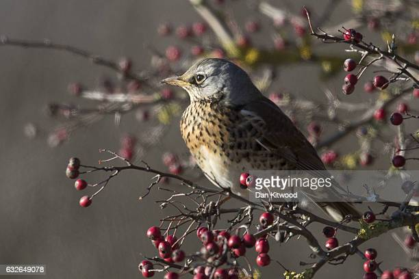 Fieldfare feeds on berries near Rainham Marshes on January 20, 2017 in London, England. Many migratory birds such as Fieldfare and Redwing are...