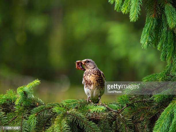 fieldfare thrush holding worm in beak - tordo bottaccio foto e immagini stock