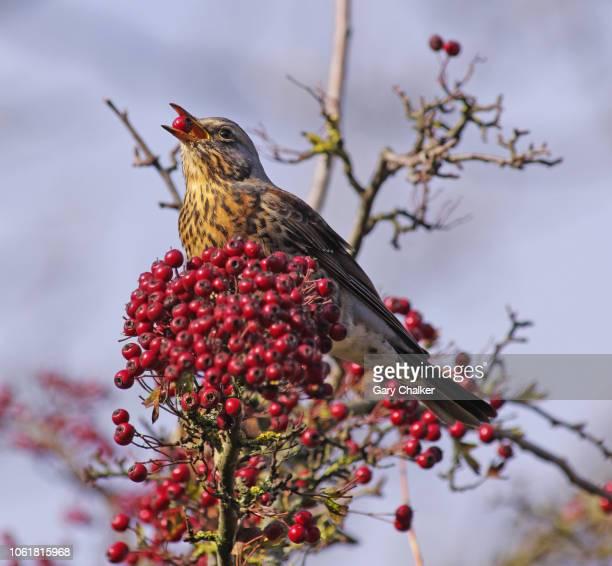 fieldfare [turdus pilaris] - thrush stock pictures, royalty-free photos & images