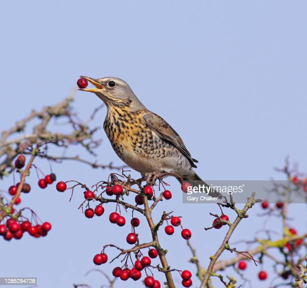 fieldfare [turdus pilaris] - perching stock pictures, royalty-free photos & images