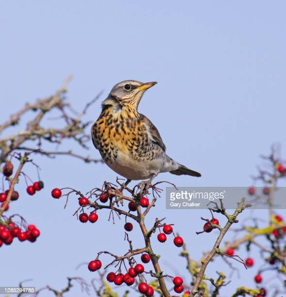 fieldfare [turdus pilaris] - limb body part stock pictures, royalty-free photos & images
