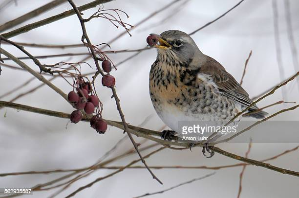 fieldfare -turdus pilaris- - animal digestive system stock photos and pictures