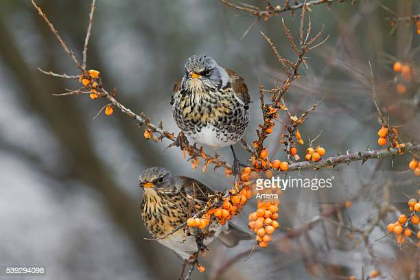 Fieldfares feeding on Sea buckthorn in winter Germany