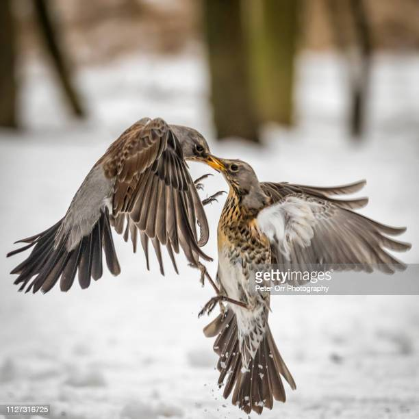 fieldfares fighting over food in snow - peter snow stock pictures, royalty-free photos & images