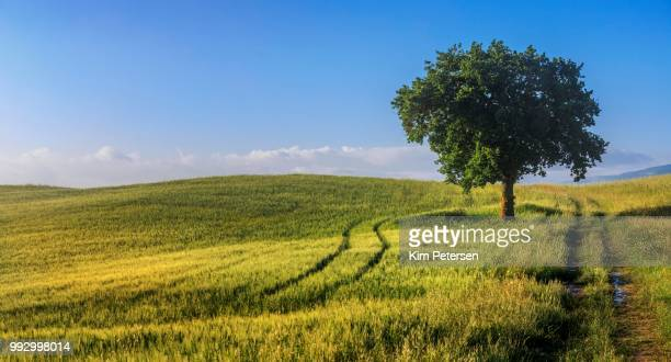 Fields and a tree in the morning light, Val d'Orcia, Tuscany, Italy