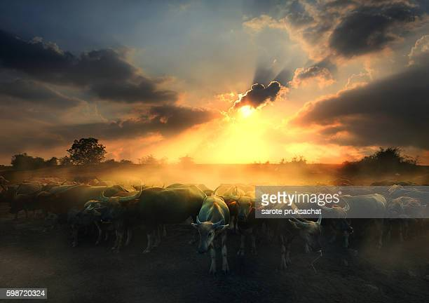 Fields filled with herds of buffalo.