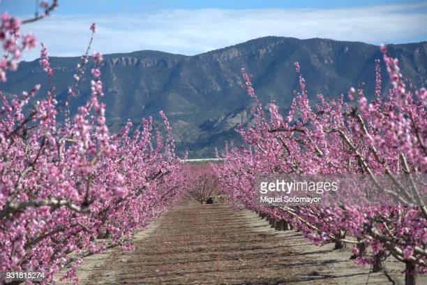 fields in flowering in cieza - murcia - fotografias e filmes do acervo