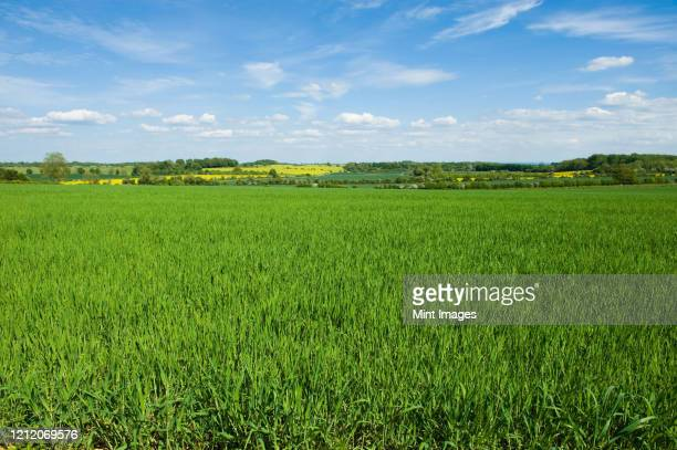 fields in summer, a rural landscape of hedges and growing crops - rural scene stock pictures, royalty-free photos & images