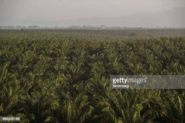 Fields of African oil palm trees stand at the Empresa Reforestada de Palma de Peten SA plantation in Sayaxche El Peten department Guatemala on...