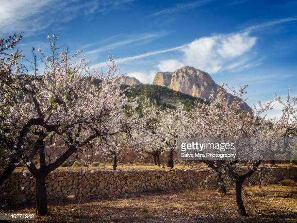 fields of almond trees - almond stock pictures, royalty-free photos & images