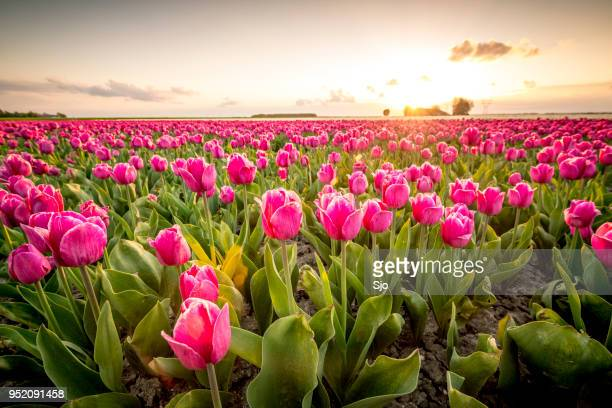 fields of blooming red tulips during sunset in holland - tulipano foto e immagini stock