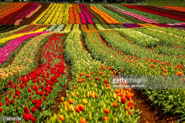 fields of blooming tulips near wynyard , tasmania - radial symmetry stock pictures, royalty-free photos & images