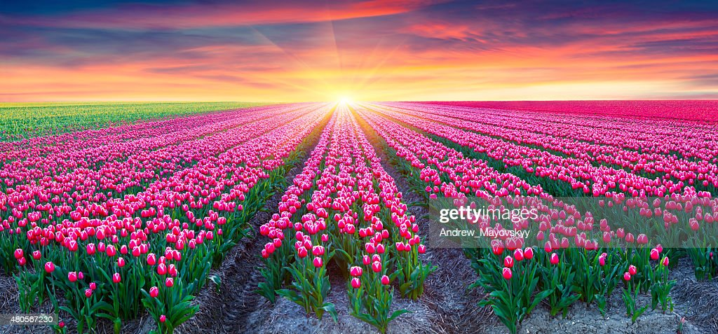 Fields of blooming white tulips at sunrise : Stock Photo
