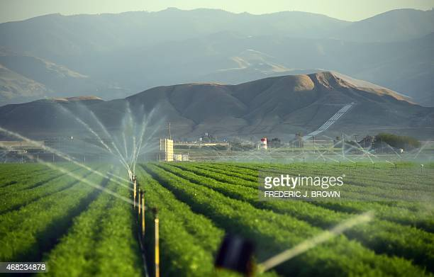 Fields of carrots are watered March 29 2015 in Kern County California which became the nation's number 2 crop county for the first time in 2013 near...