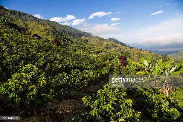 Fields of cofee in a coffee farm in Caldas