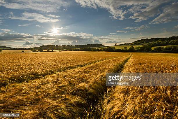 Fields of Gold - Barley