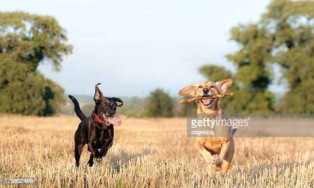 fields of gold - mongrel dog stock pictures, royalty-free photos & images