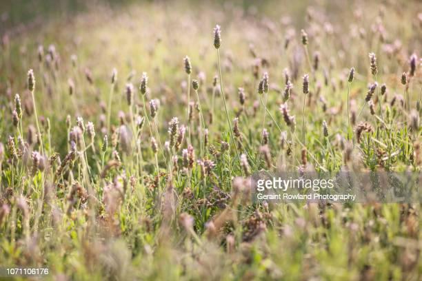 Fields of Gold & Purple