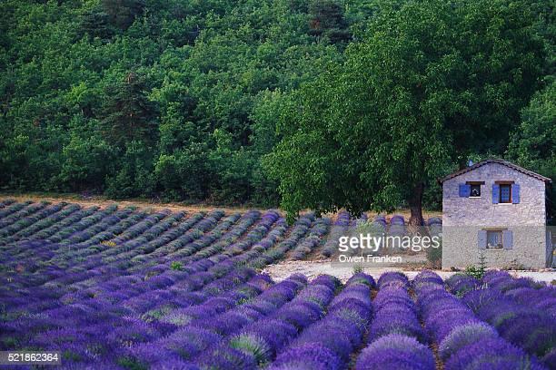 fields of lavender by rustic farmhouse - コートダジュール ストックフォトと画像