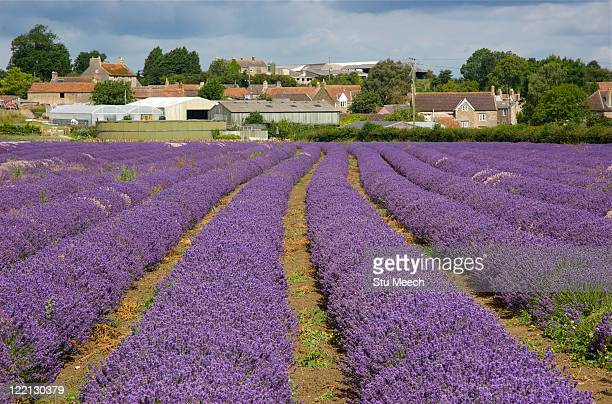 fields of lavender flower - 英イングランド バース ストックフォトと画像