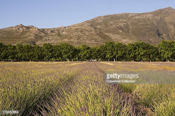 Fields of lavender in Franschhoek