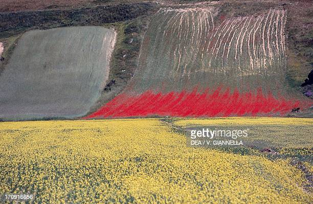 Fields of lentil and rye , Monti Sibillini National Park, Umbria, Italy.