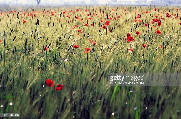 Fields of opium poppies and wheat Coltano Estate Tuscany Italy