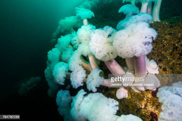 Fields of plumose anemones grow at the bottom of Marys rock, Resurrection Bay, Alaska.