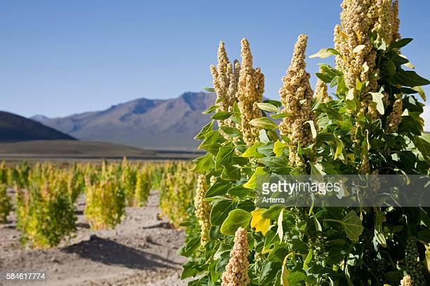 Fields of Quinoa near San Juan Bolivia